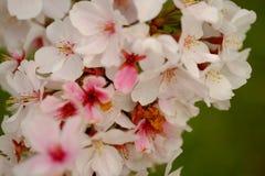 Fleurs de Sakura à Memphis Photos libres de droits