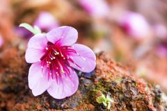 Fleurs de Sakura Photos stock