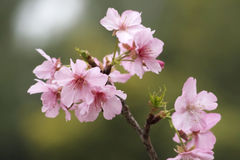 Fleurs de Sakura Photo stock