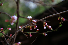 Fleurs de Sakura Photographie stock
