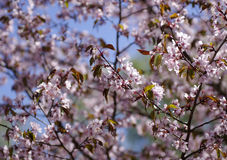 Fleurs de Sakura Photo stock