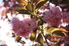Fleurs de Sakura Cherry Photos stock