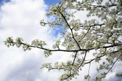 Fleurs de Sakura Cherry Images libres de droits