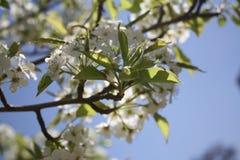 Fleurs de Sakura Cherry Photographie stock