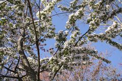 Fleurs de Sakura Cherry Photographie stock libre de droits
