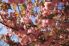 Fleurs de Sakura Cherry Photo stock