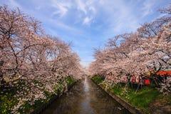 Fleurs de Sakura Cherry sur le côté de rivière Photos libres de droits