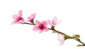 Fleurs de Sakura d'isolement Photo libre de droits