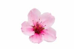Fleurs de Sakura d'isolement Photographie stock libre de droits