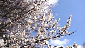 Fleurs de Sakura de fond de ressort Belle saison images stock