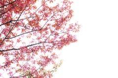 Fleurs de Sakura sur le fond blanc Photo libre de droits