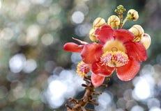 Fleurs de Salavan Images stock