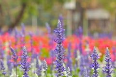 Fleurs de Salvis Photographie stock