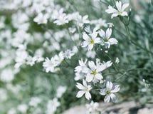 Fleurs de Sandwort avec le beau bokeh images stock