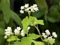 Fleurs de sarrasin Photos libres de droits