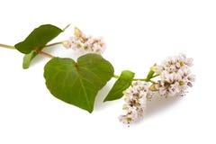 fleurs de sarrasin de fleur photo stock image 63145771. Black Bedroom Furniture Sets. Home Design Ideas
