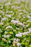 Fleurs de sarrasin sur le champ vert Image stock