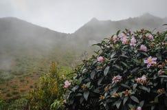 Fleurs de sasanqua de camélia avec les fleurs roses images stock
