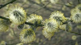 Fleurs de saule de chat sur un arbre banque de vidéos