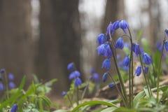 Fleurs de Scilla Photo stock