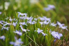 Fleurs de Scilla Photos libres de droits