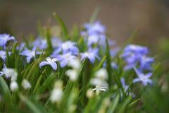 Fleurs de Scilla Photographie stock libre de droits