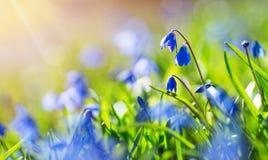 Fleurs de Scilla en parc Photographie stock libre de droits