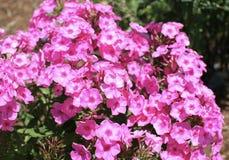 Fleurs de scintillement roses de pétunias Image stock