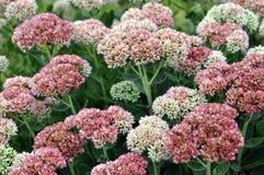 Fleurs de sedum Photo libre de droits