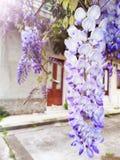 Fleurs de Sinensis de glycine cascadant sur la branche image libre de droits
