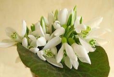 Fleurs de Snowdrop photographie stock