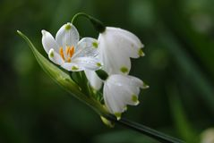 Fleurs de Snowdrop Photo stock