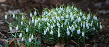 Fleurs de snowdrop de source Images libres de droits