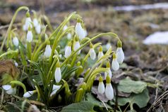 Fleurs de Snowdrop en matin, orientation molle Le premier ressort fleurit des fleurs dans le jardin images libres de droits