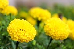 Fleurs de souci Photo libre de droits