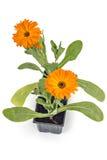 Fleurs de souci Photos libres de droits