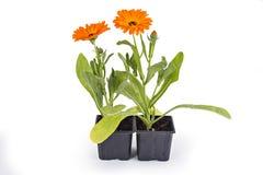 Fleurs de souci Photographie stock libre de droits