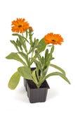 Fleurs de souci Photos stock