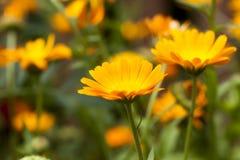 Fleurs de souci, champ Images libres de droits
