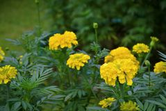 Fleurs de souci dans le domaine Photo stock