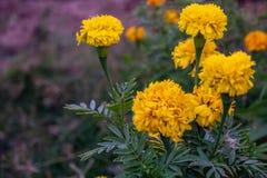 Fleurs de souci dans le jardin image stock