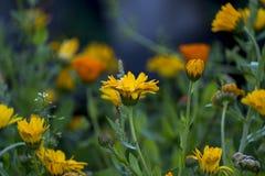 Fleurs de souci dans le jardin, plan rapproché Image stock