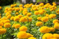 Fleurs de souci en parc Photos libres de droits