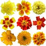 Fleurs de souci réglées Photos stock