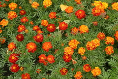 Fleurs de soucis photographie stock