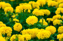 Fleurs de soucis dans le jardin Images stock
