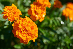 Fleurs de soucis français photo stock