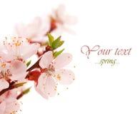 Fleurs de source. Photos stock