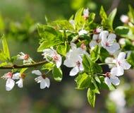 Fleurs de source Photos stock