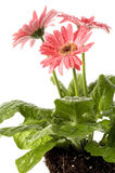 Fleurs de source avec le système de fond Photos libres de droits